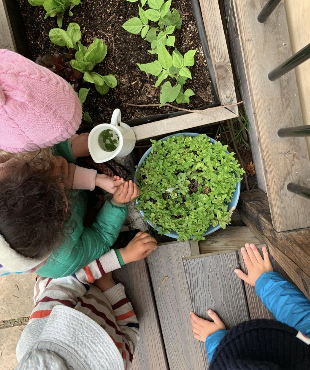 Nursery children picking mint from the garden